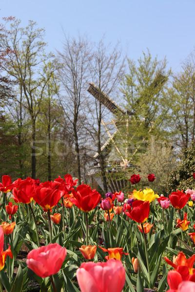 Holland Bereich Tulpen wunderbar lebendig Blume Stock foto © tannjuska