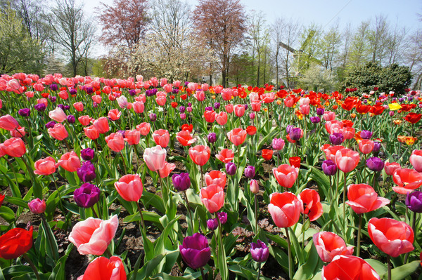Holland windmills and field of tulips Stock photo © tannjuska