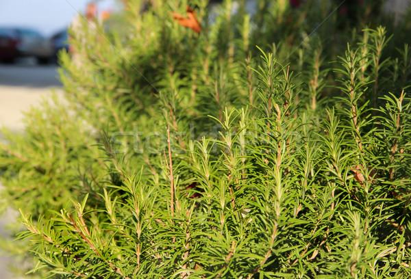 Rozmaring természet zöld gyógynövények friss edény Stock fotó © tannjuska