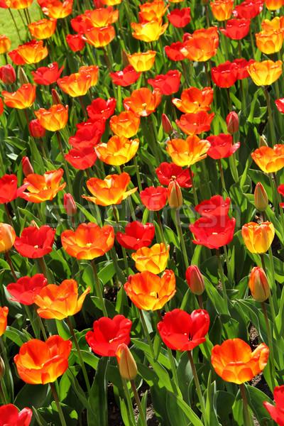 Lot of beautiful vivid tulips in the park Keukenhof Stock photo © tannjuska