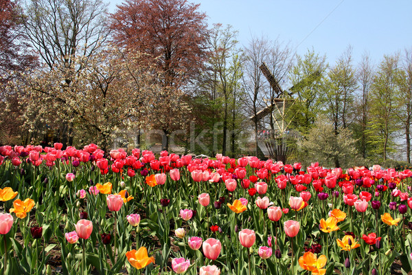 Holland windmills and tulips Stock photo © tannjuska