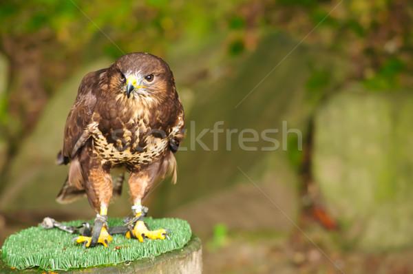 Urubu ramo cadeias natureza pássaro retrato Foto stock © tarczas