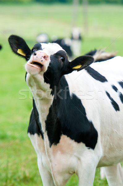 cow on the pasture Stock photo © tarczas