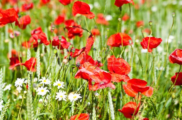 Pipacs mező pipacsok vad virágok búzamező virágok Stock fotó © tarczas