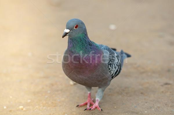Portrait of a pigeon walking alone Stock photo © tarczas