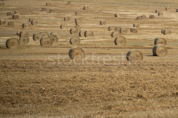 haystack ont the farmfield after harvest Stock photo © tarczas