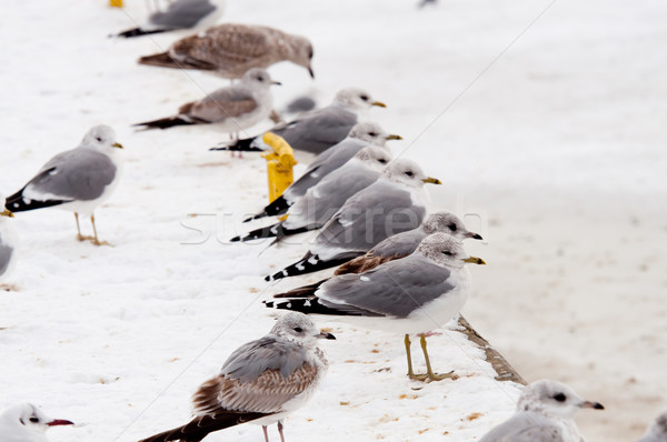 seagull at winter time Stock photo © tarczas