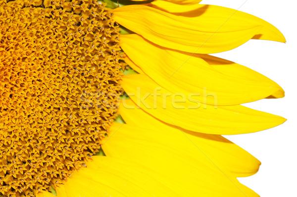 ヒマワリ 孤立した 白 背景 黄色 ストックフォト © tarczas