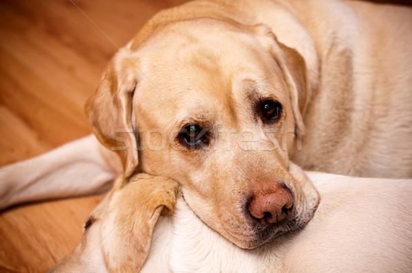 Labrador köpek burun evcil hayvan sevimli Stok fotoğraf © tarczas