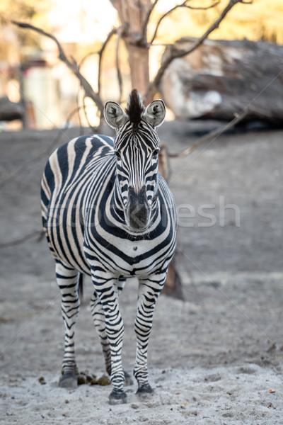 Zebra jardim zoológico natureza beleza África preto Foto stock © tarczas