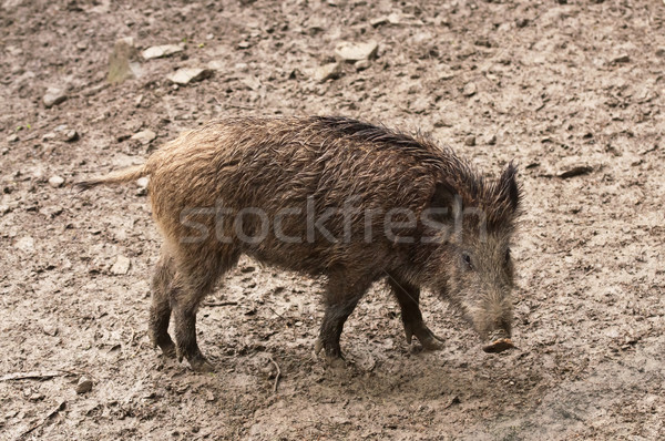 wild boar in their natural environment Stock photo © tarczas
