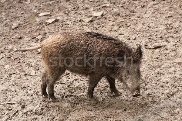 Javali naturalismo ambiente porco Foto stock © tarczas