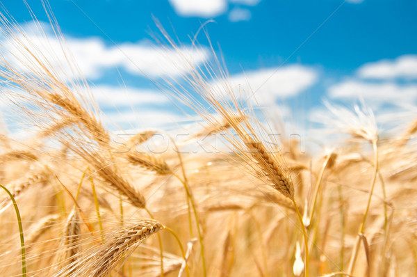 gold wheat Stock photo © tarczas