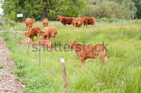 cattle on the pasture Stock photo © tarczas