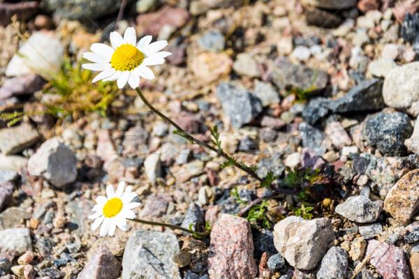 Dois margarida crescente pedras pedra superfície Foto stock © tarczas
