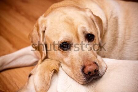 Iki genç eski köpek burun evcil hayvan Stok fotoğraf © tarczas