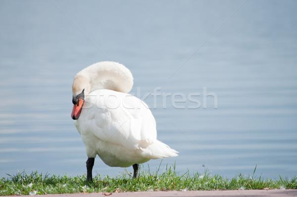 single white swan on the lake shore Stock photo © tarczas