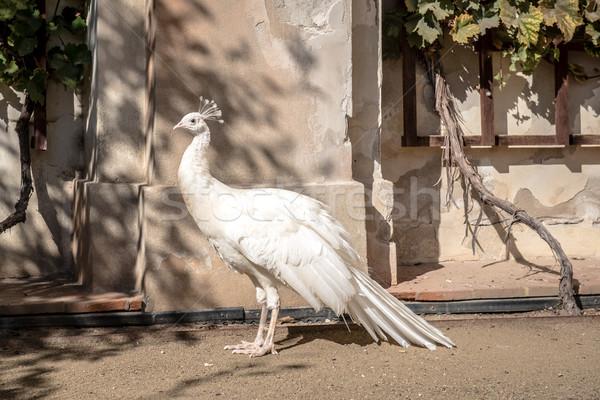 Blanche paon parc beauté plumes ailes Photo stock © tarczas