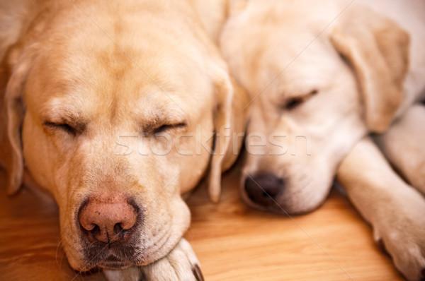 Iki genç eski kürk sevimli Labrador Stok fotoğraf © tarczas