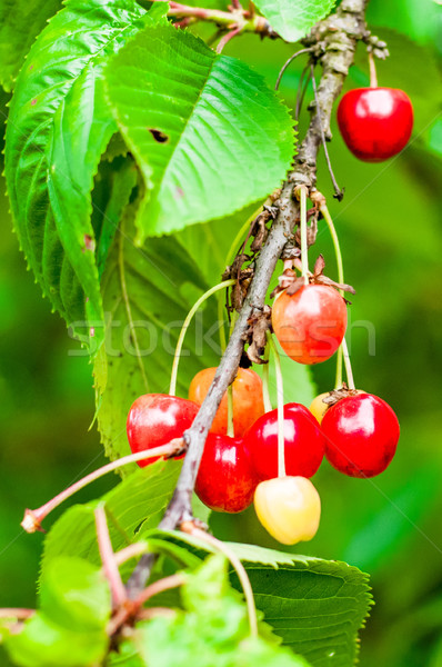 Red and sweet cherries on a branch just before harvest Stock photo © tarczas