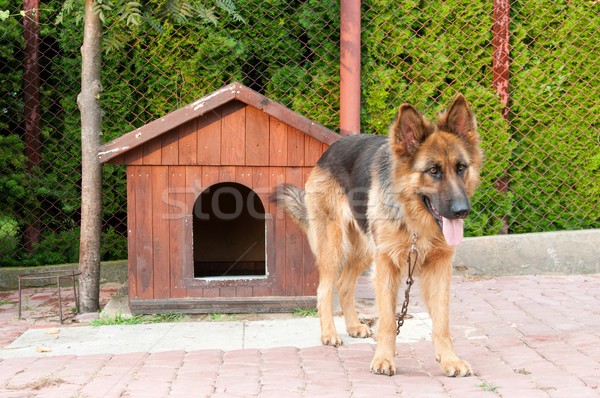 german shepherd and wooden doghuse Stock photo © tarczas