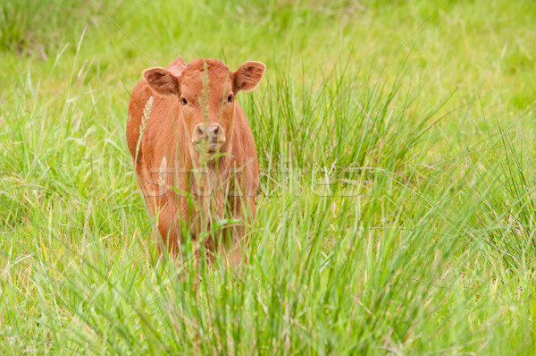 Testtartás fű zöld farm állat mezőgazdaság Stock fotó © tarczas