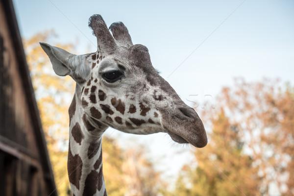 Portré zsiráf állatkert szem vicces fej Stock fotó © tarczas