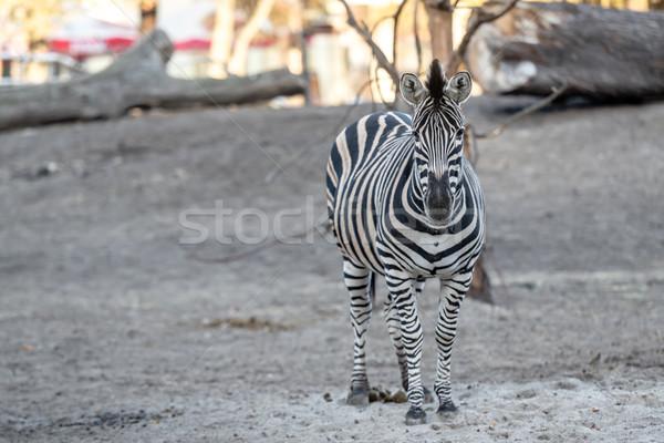 Zebra állatkert természet szépség Afrika fekete Stock fotó © tarczas
