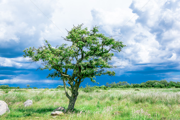 lonely single tree on the meadow before the storm Stock photo © tarczas