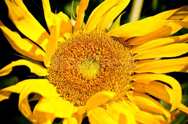 sunflower on wild field closeup Stock photo © tarczas