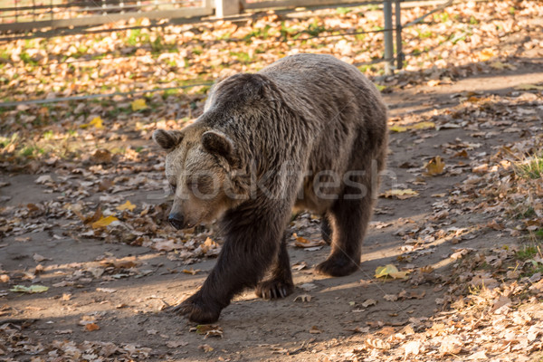 big brown grizzly bear at the zoo Stock photo © tarczas