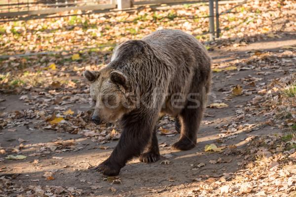 Nagy barna grizzly medve állatkert fej medve Stock fotó © tarczas