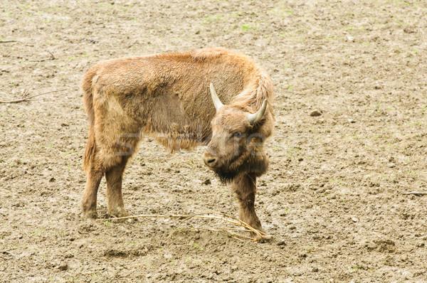 Genç bizon doğal yetişme ortamı Stok fotoğraf © tarczas