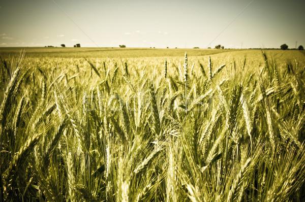 Zielone pole pszenicy niebo charakter świetle piękna Zdjęcia stock © tarczas