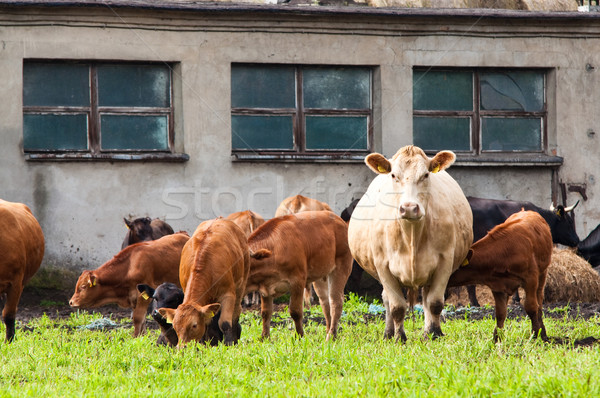young and mature cows on dairy farm Stock photo © tarczas