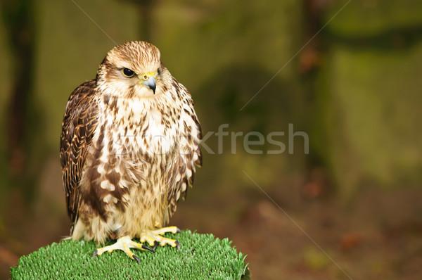 Giovani rosolare falcon seduta sostegno piuma Foto d'archivio © tarczas