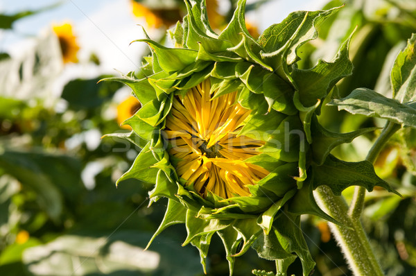 unripe flower of the sunflower on field  Stock photo © tarczas