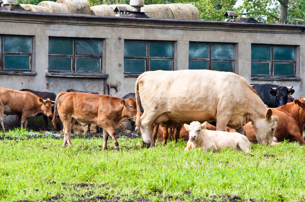 calf and cows on dairy farm Stock photo © tarczas