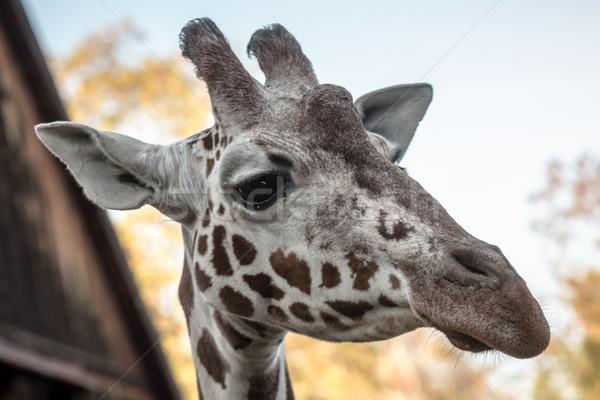 肖像 キリン 動物園 眼 面白い 頭 ストックフォト © tarczas