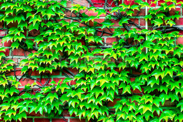 brick wall overgrown with vines to use as background Stock photo © tarczas