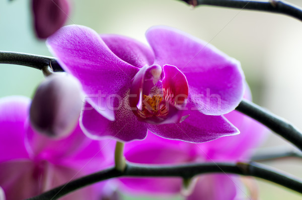 close up of Beautiful purple orchid - phalaenopsis Orchis purpurea Stock photo © tarczas