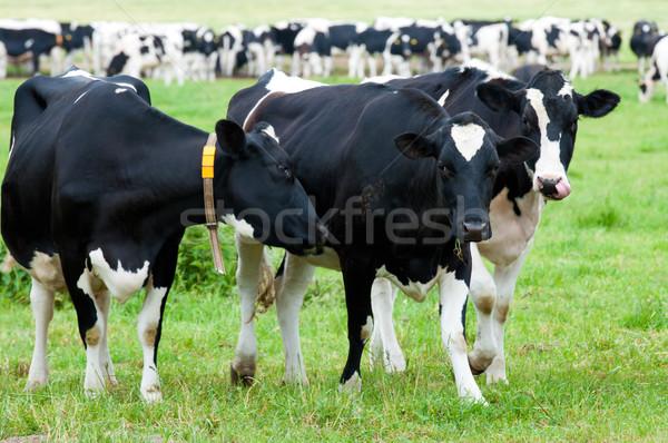 Nyáj tehenek testtartás természet zöld farm Stock fotó © tarczas