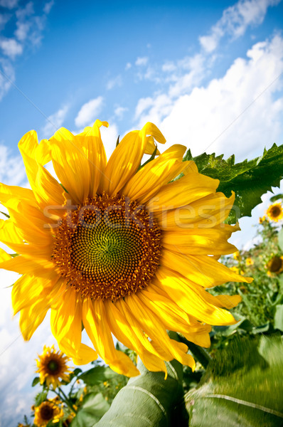 sunflower on blue sky background  Stock photo © tarczas
