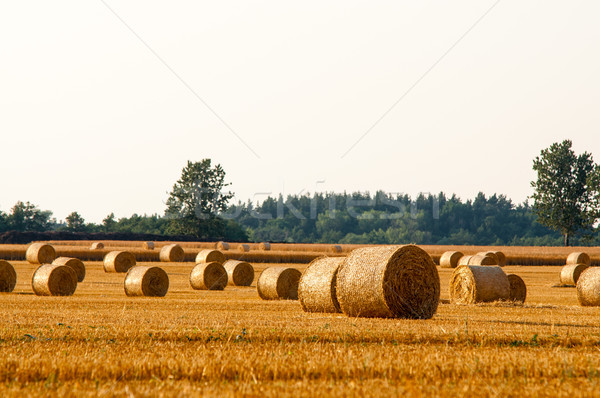 Round straw bales in harvested fields and blue sky Stock photo © tarczas