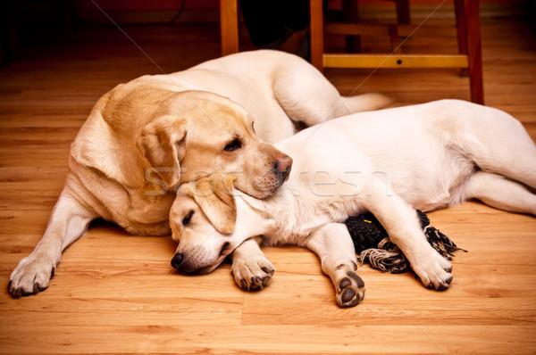 Twee jonge oude hond neus huisdier Stockfoto © tarczas