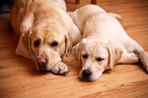 two labradors Stock photo © tarczas