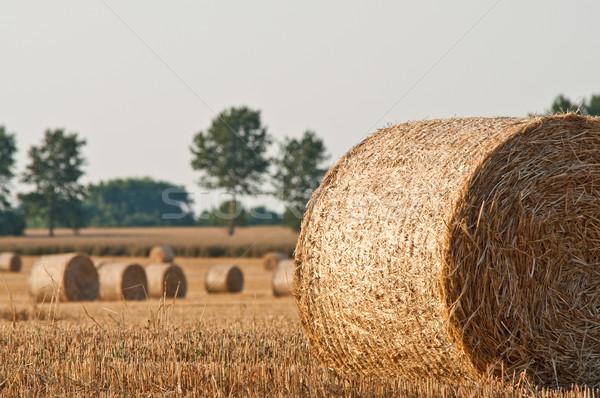 Straw rolls and wheat on farmer field Stock photo © tarczas