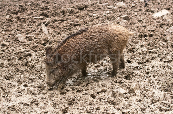 кабан природного среде свинья Сток-фото © tarczas