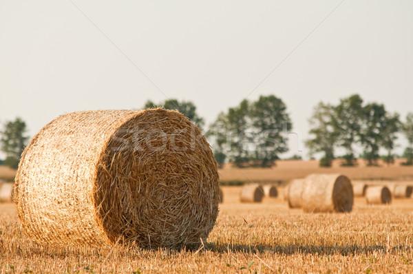 Straw rolls on summer farmer field Stock photo © tarczas