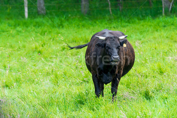 black cow in a green pasture on cattle farm Stock photo © tarczas
